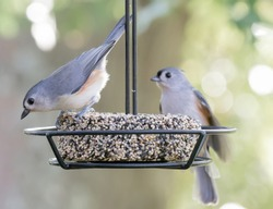 Cute Tufted Titmouse birds from Kentucky on a feeder swinging, urban wildlife photography nature photography 2018