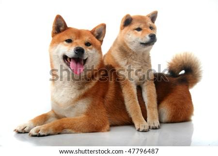 shiba inu puppy. Cute two Shiba Inu dogs on