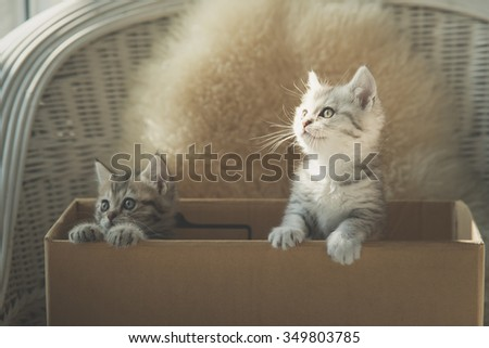 Cute two tabby kittens looking in a box,vintage filter