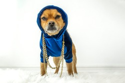Cute urban dog wearing blue hoodie and gold chains
