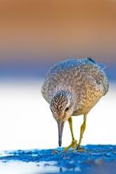 Cute water bird. Yellow blue nature background. Red Knot / Calidris canutus