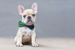 Cute 7 weeks old lilac fawn colored French Bulldog dog puppy wearing a bow tie sitting in front of gray wall