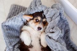 cute Welsh Corgi Pembroke puppy lying on a blanket, puppy on a blanket lying on his back