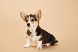 cute welsh corgi puppy on beige background