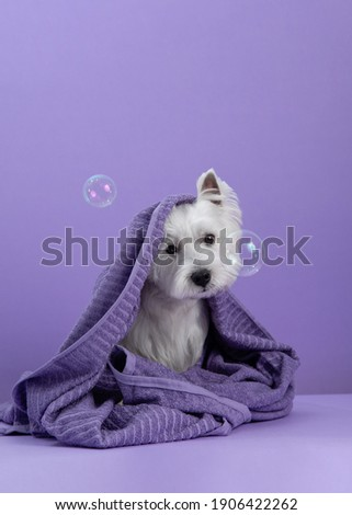 Cute West Highland White Terrier dog on purple background after bath. Dog wrapped in a towel among soap bubbles. Pet grooming concept. Copy Space. Place for text