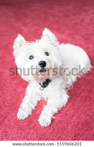 Cute West Highland White Terrier on red carpeted floor