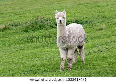 Cute white Alpaca with lots of wool on a lush green grass background