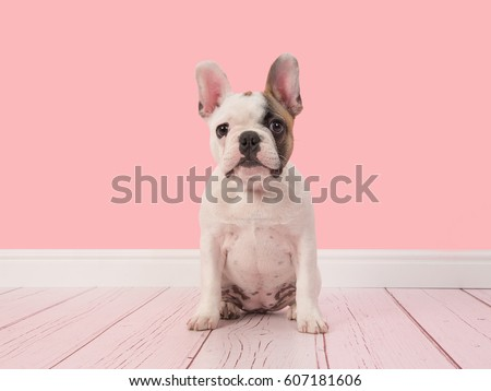 Cute white and brown french bulldog puppy sitting in a pink living room setting facing the camera