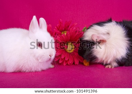 Cute white baby Netherland Dwarf bunny rabbit and black and white Abbysinian Guinea pig with pink flowers on hot pink background