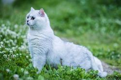 Cute white british shorthair cat. Chinchilla color.