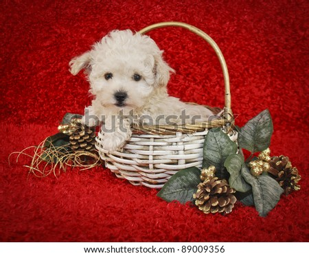 Cute white Christmas puppy on a red background.