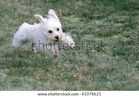 Cute white dog leaping toward camera at full speed