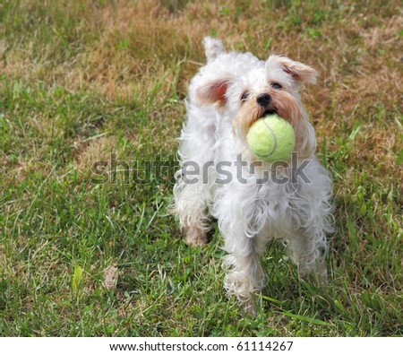 Cute white dog plays fetch with yellow tennis ball