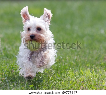 Cute white dog running across green grass with yellow tennis ball in mouth and ears flapping in air