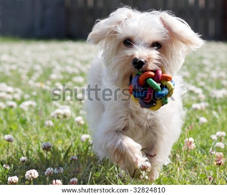 cute white dog running with toy in mouth