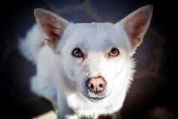 Cute white dog watching straight to the camera,Stray Dog,Animals Eye Contact,Pet Dogs