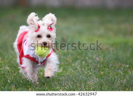 Cute white dog wearing cheerleader outfit with red valentine hearts fetches ball on green lawn