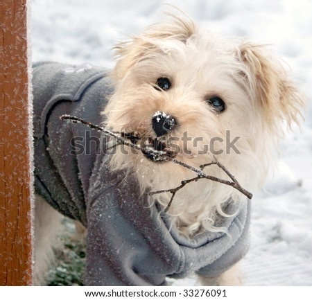 Cute white dog with gray sweater holding twig in snow