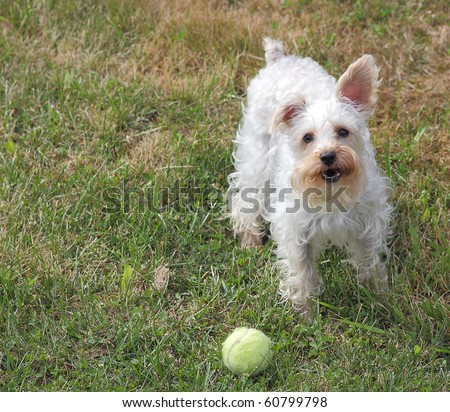 Cute white dog with one ear up and one ear down stands in grass next to tennis ball, wanting to play a game of fetch