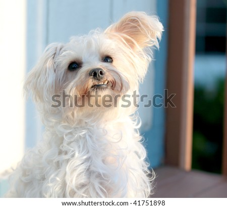 Cute white dog with under bite, one ear up and one ear down