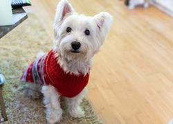 Cute white fluffy Westie dog (west highland terrier) with his black nose and pink tongue. Funny ears. Dog with red jumper. Cute doggy with scruffy paws. Canine. Close up. Christmas.