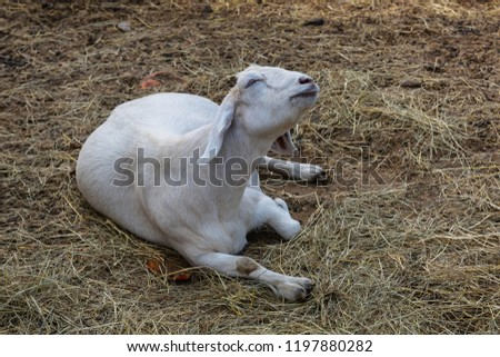 Cute White Goat Laying Down on Hay, Harvest Festival Barnyard Animal Background