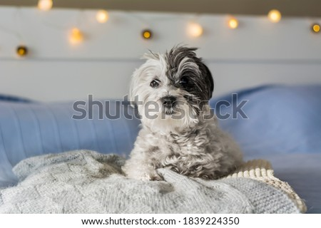 Cute White Havanese Dog Relaxing on a Human Bed Foto stock ©