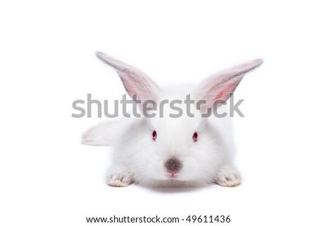 Cute white isolated baby rabbit. - stock photo