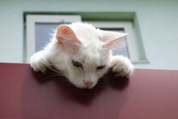 Cute white kitten bending over roof edge looking downwards