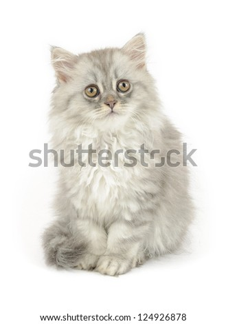 cute white kitten (british longhair), isolated over white