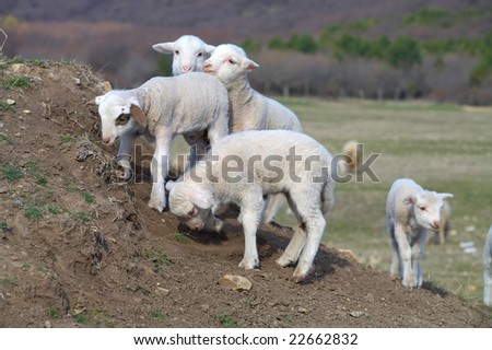 cute white lambs on field in spring