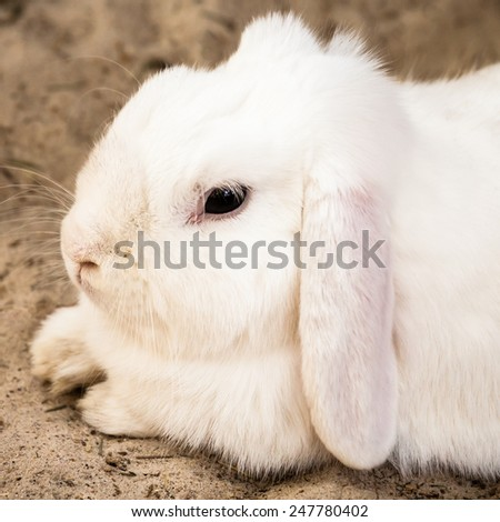 Cute white lop eared domestic pet rabbit (Oryctolagus cuniculus) with long pinkish ears and black eyes lying calmly on sand