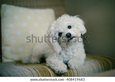 Cute white maltese dog lying at home on a sofa, tilting his head,  asking for your attention