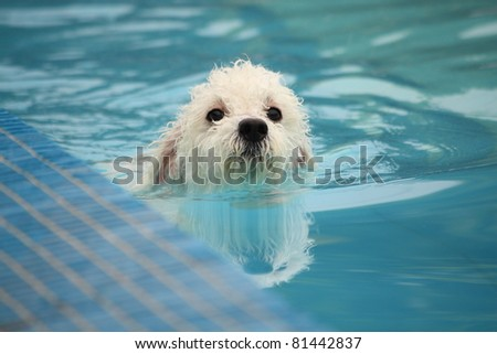 Cute white mini poodle swimming  in a swimming pool in the summer