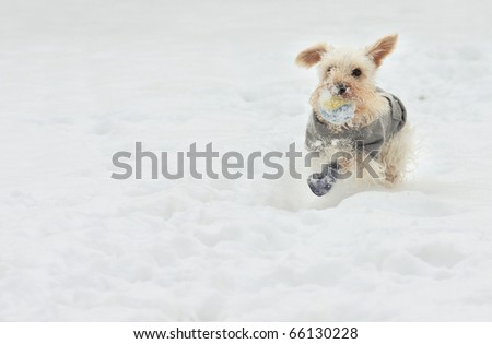 Cute white miniature schnauzer breed of dog plays fetch on a snowy day wearing a gray sweater and blue boots
