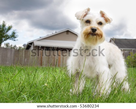 Cute white miniature schnauzer dog standing on green grassy lawn