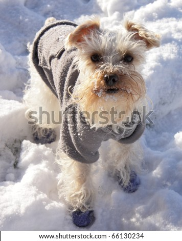 Cute white miniature schnauzer dog with ears perked up plays in snow wearing gray sweater and blue shoes