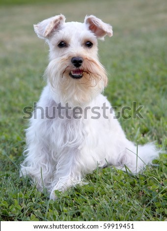 Cute white miniature schnauzer sits at attention, looking at viewer
