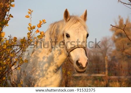 Cute white pony portrait in autumn