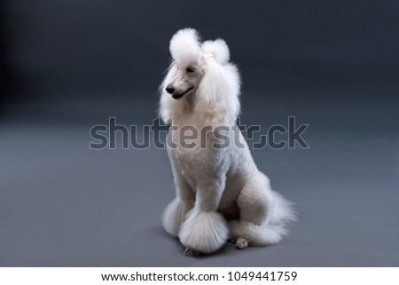 cute white poodle