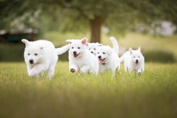 Cute white puppies running in grass. White shepherd puppies. Berger Blanc Suisse. Cute dogs. Puppies in action.