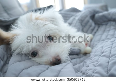 Cute white puppy laying down
