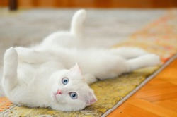 Cute white Scottish fold cat rest on the carpet