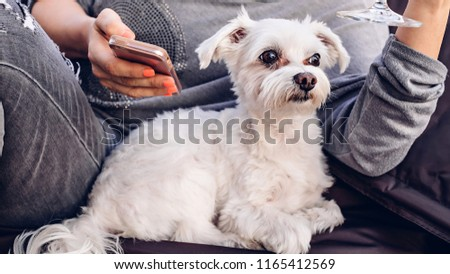 Cute white sheared Maltese lapdog, resting on the hands of the mistress #1165412569