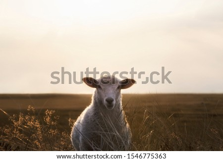 Cute white sheep facing camera through marram grass on the dunes of Sylt island, Germany, at sunrise. German countryside context at the North sea.