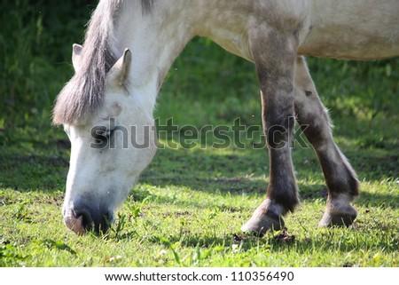 Cute white shetland pony eating grass in summer
