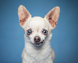 Cute wide eyed chihuahua on an isolated blue background studio shot