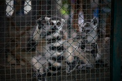 Cute wild animal ring-tailed lemur photography.
