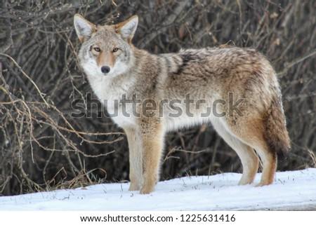 Cute Wild Coyote