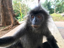 Cute wild monkey taking selfie.  Silvery lutung or silvery langur.